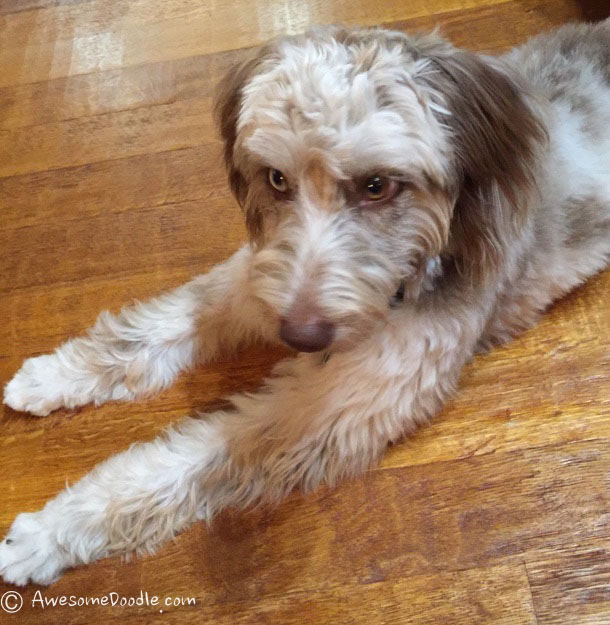 Miss Daisy The Red Merle Aussiedoodle Awesomedoodle