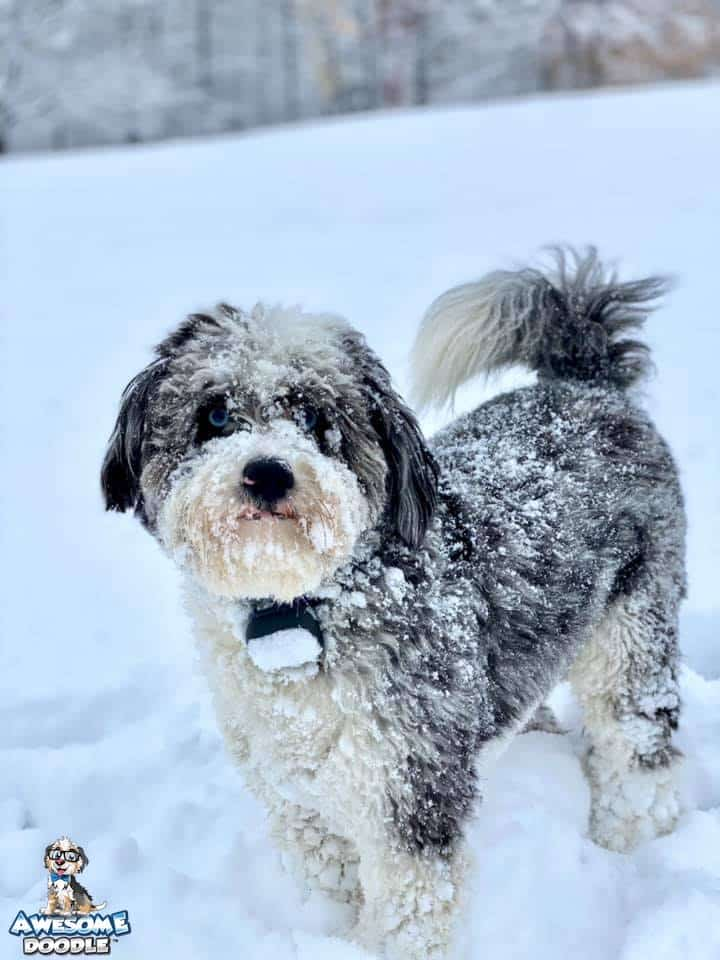 blue merle aussiedoodle in the snow