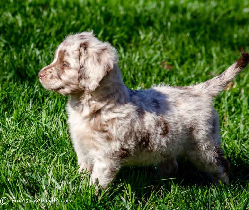 red_merle_mini_aussiedoodle_moe2
