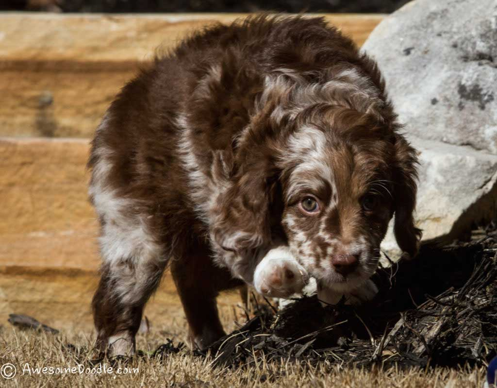 mini chocolate and red merle aussiedoodle puppy