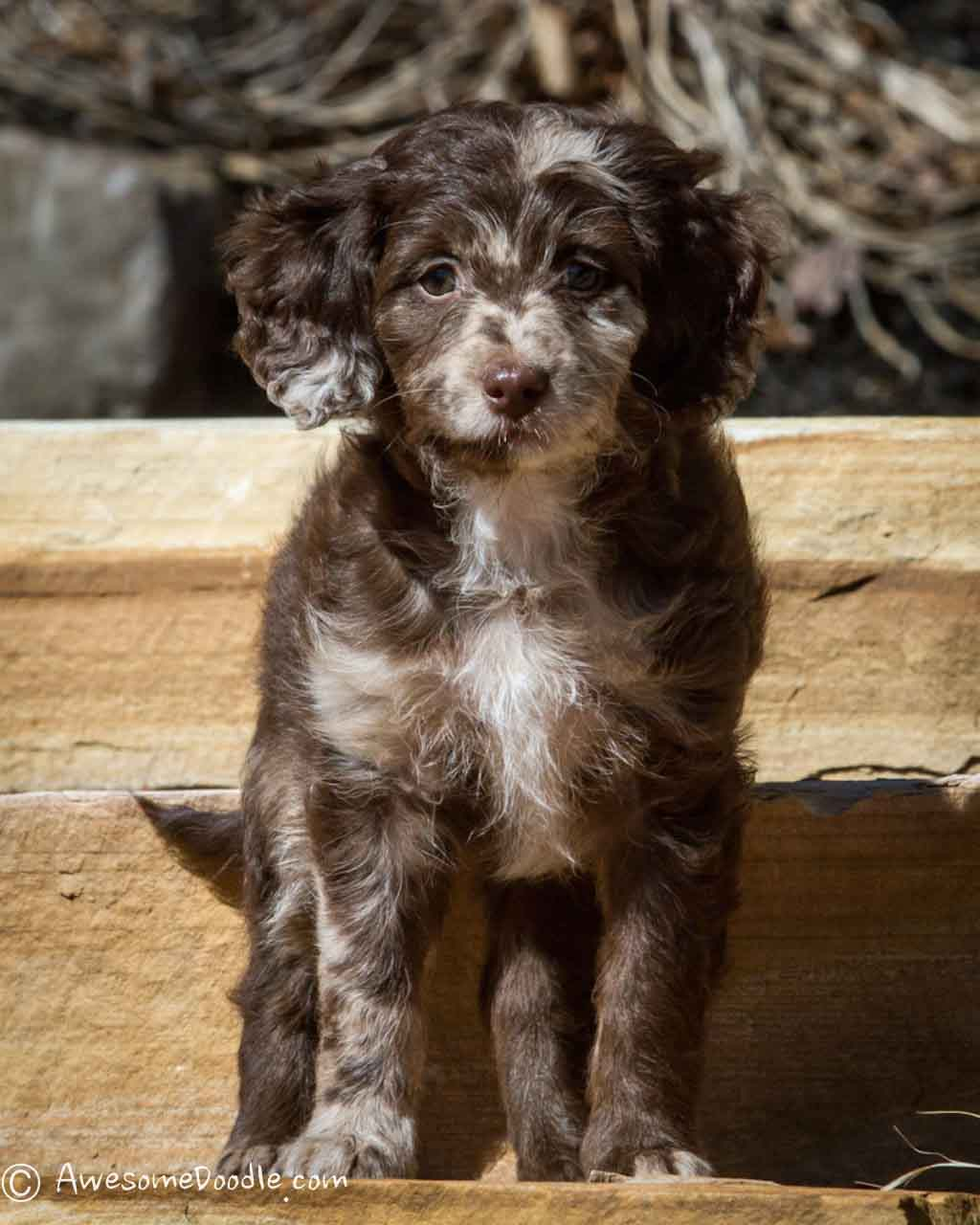 chocolate and red merle aussiedoodle puppy