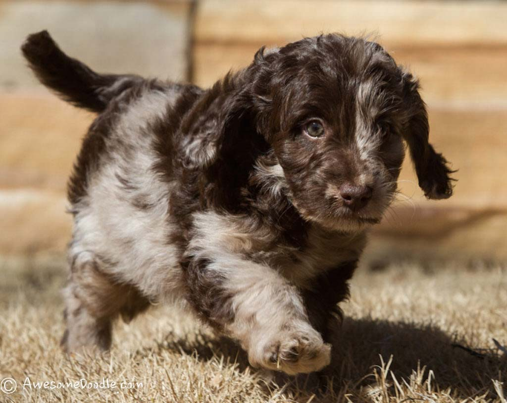 red merle and chocolate merle mini aussiedoodle puppy
