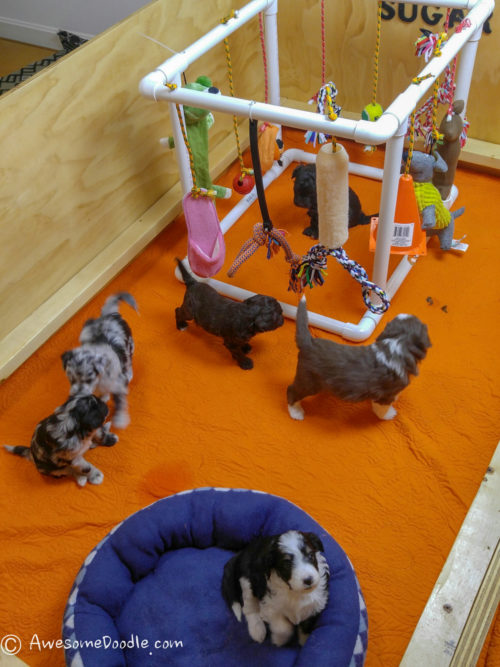 AussieDoodle toys and playpen