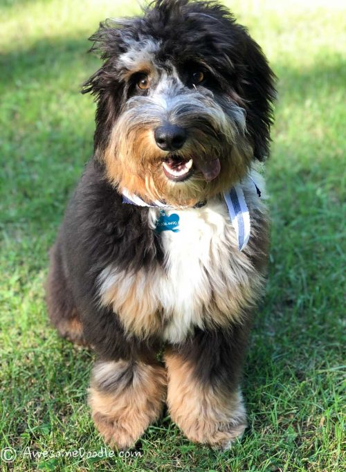 trained aussiedoodle