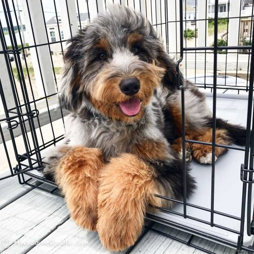 crate training your aussiedoodle