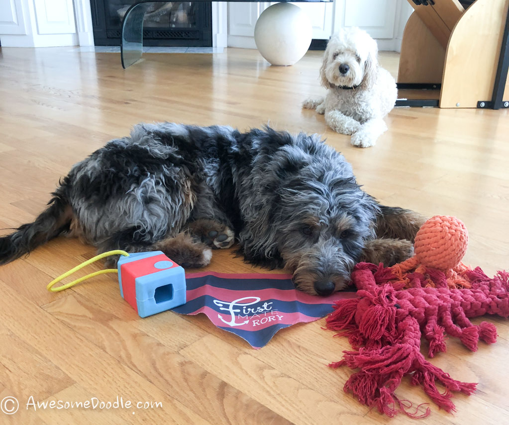 aussiedoodle toys