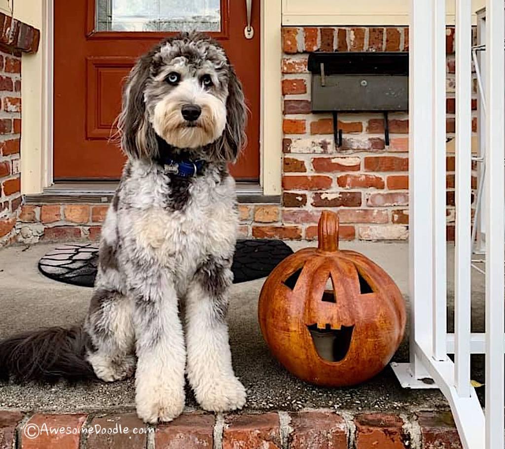 halloween aussie doodle