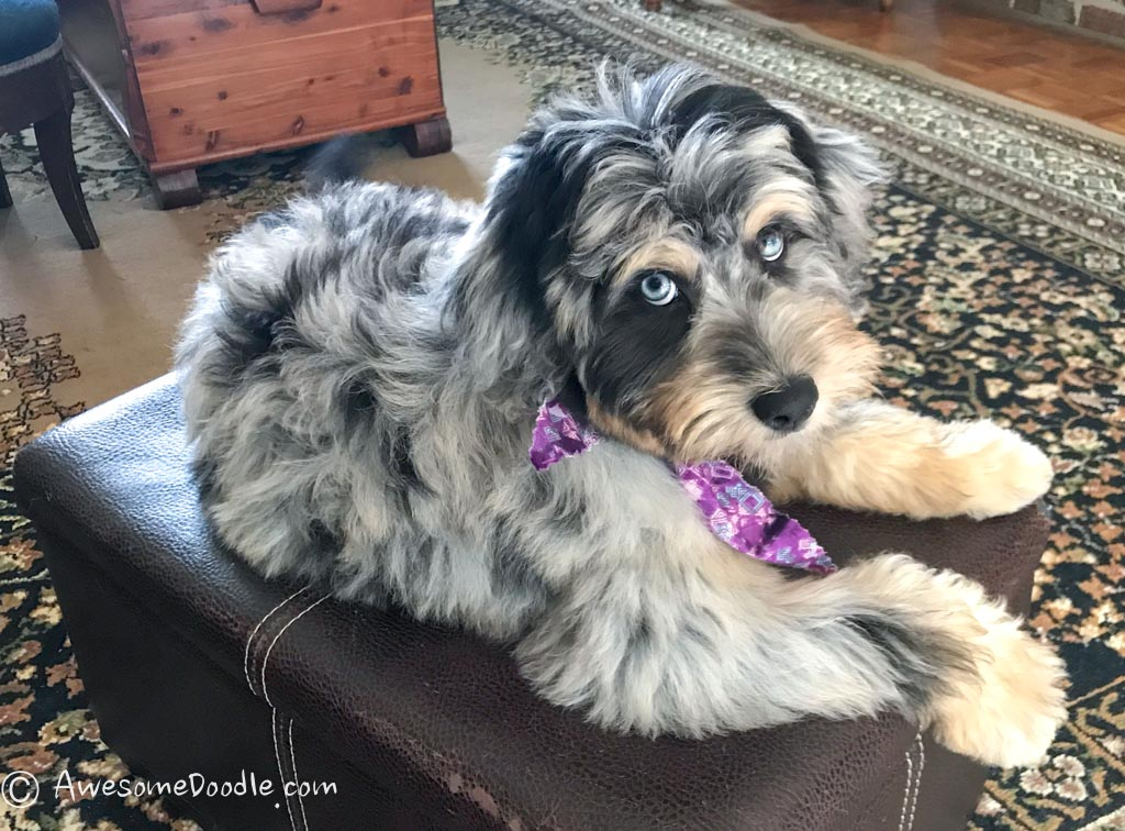 aussiedoodle coat colors