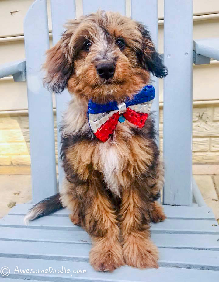 adult mini aussiedoodle