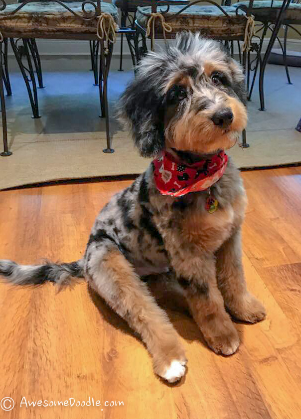 groomed aussiedoodle
