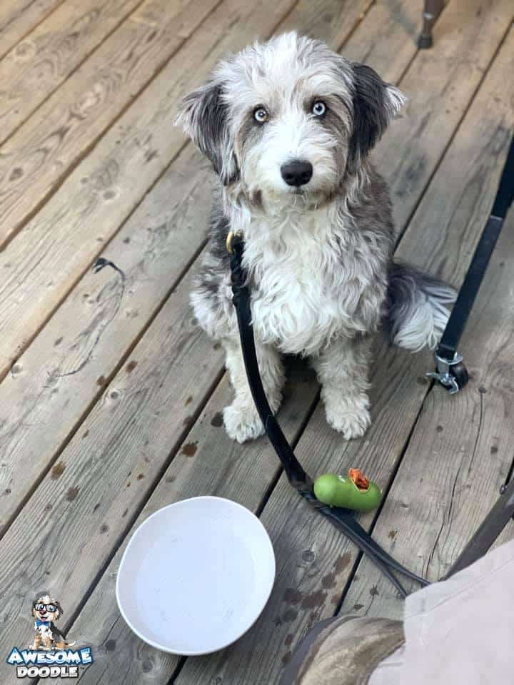 aussiedoodle adult blue merle with blue eyes