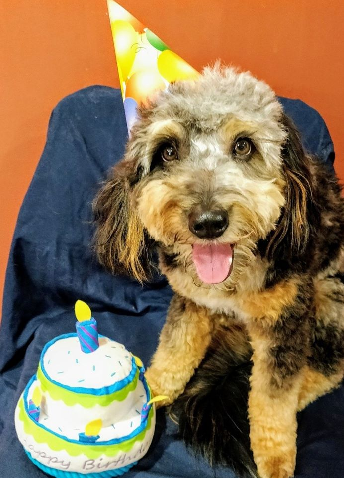 birthday aussiedoodle
