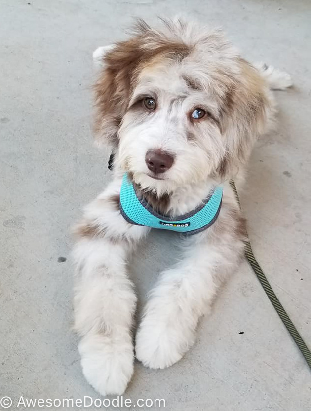 adult red merle aussiedoodle