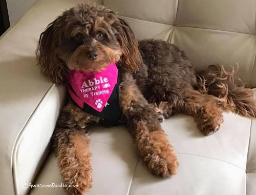 aussiedoodle therapy dog