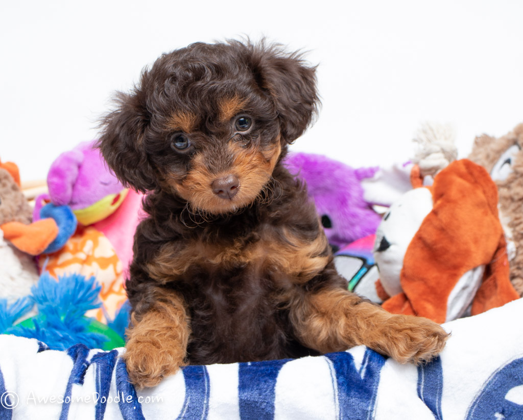 red toy aussiepoo