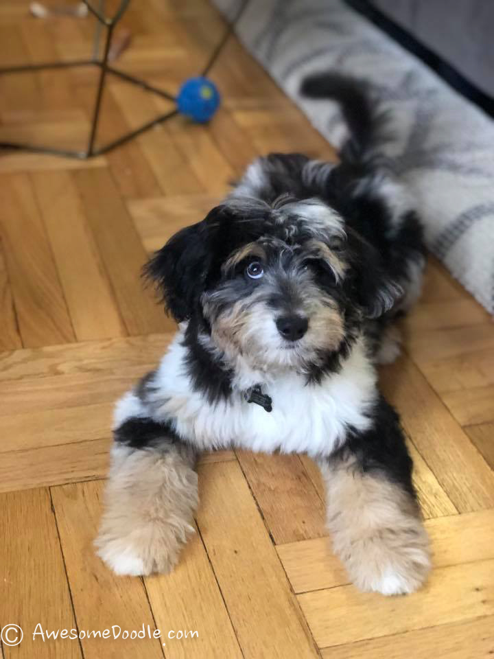 the best aussiedoodle puppies