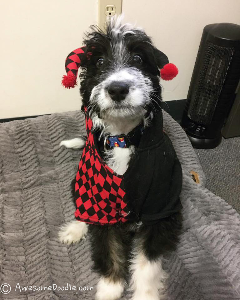 funny AussieDoodle