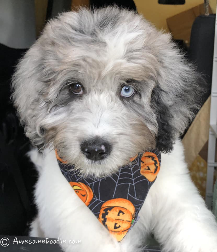 aussiedoodle with two colored eyes