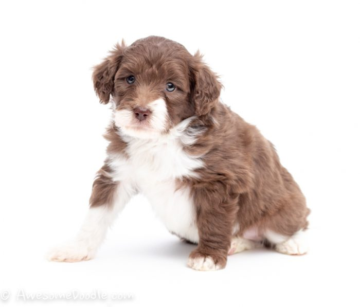 red and white aussiedoodle