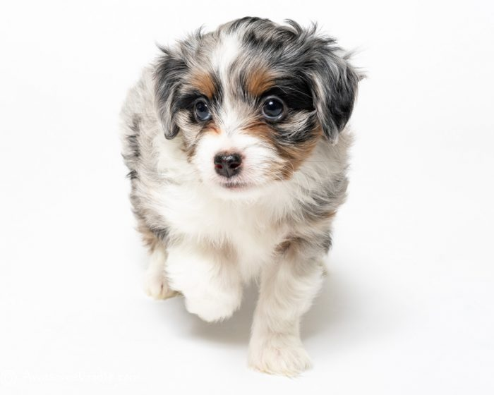 blue merle aussiedoodle with copper and white collar
