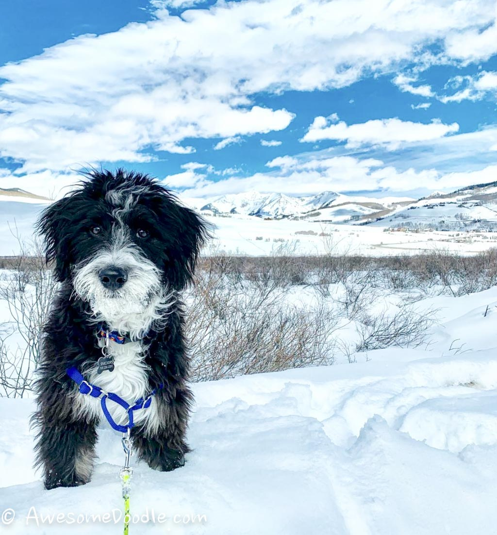 Adult snow AussieDoodle