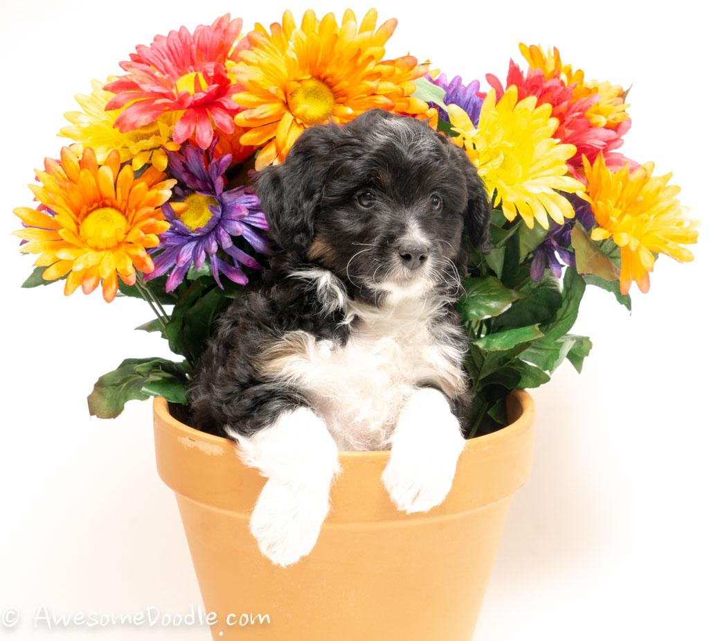 aussie doodle puppy