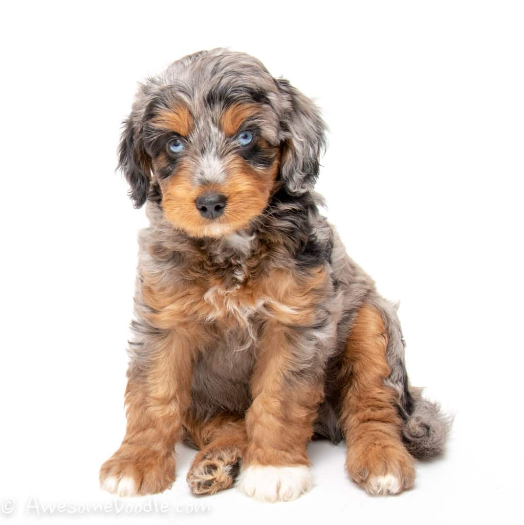 Mini Aussiedoodle Puppies For Sale Awesomedoodle