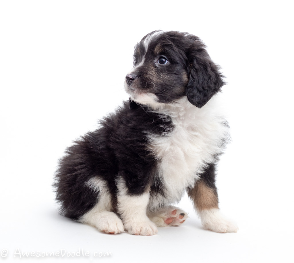 tri colored aussiedoodle puppy