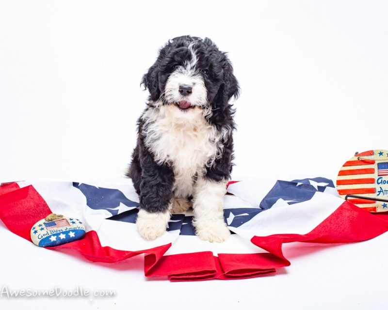 aussiedoodle puppy for sale