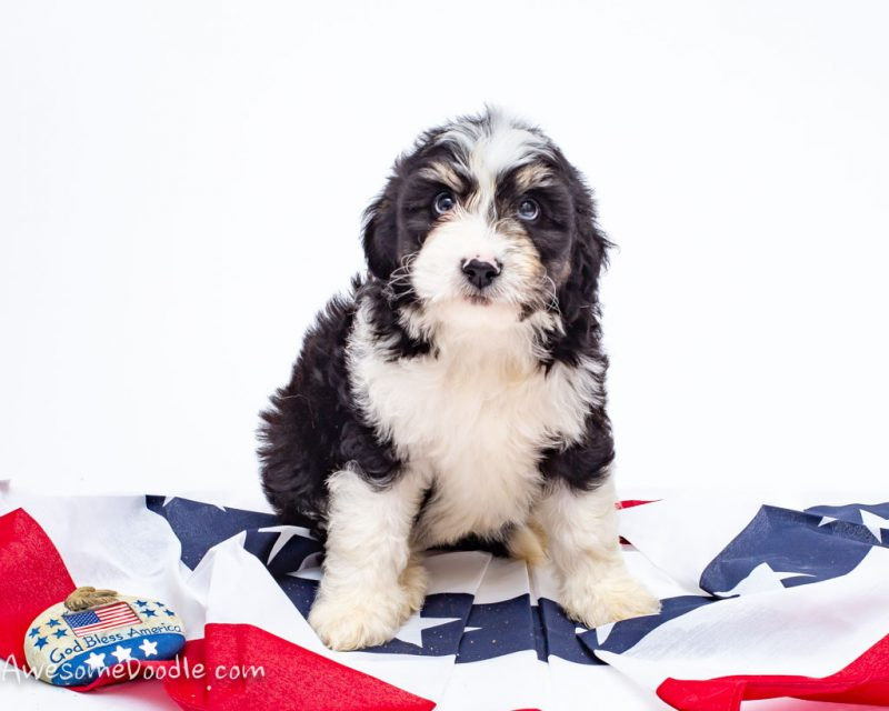 shelley the tri colored aussiedoodle