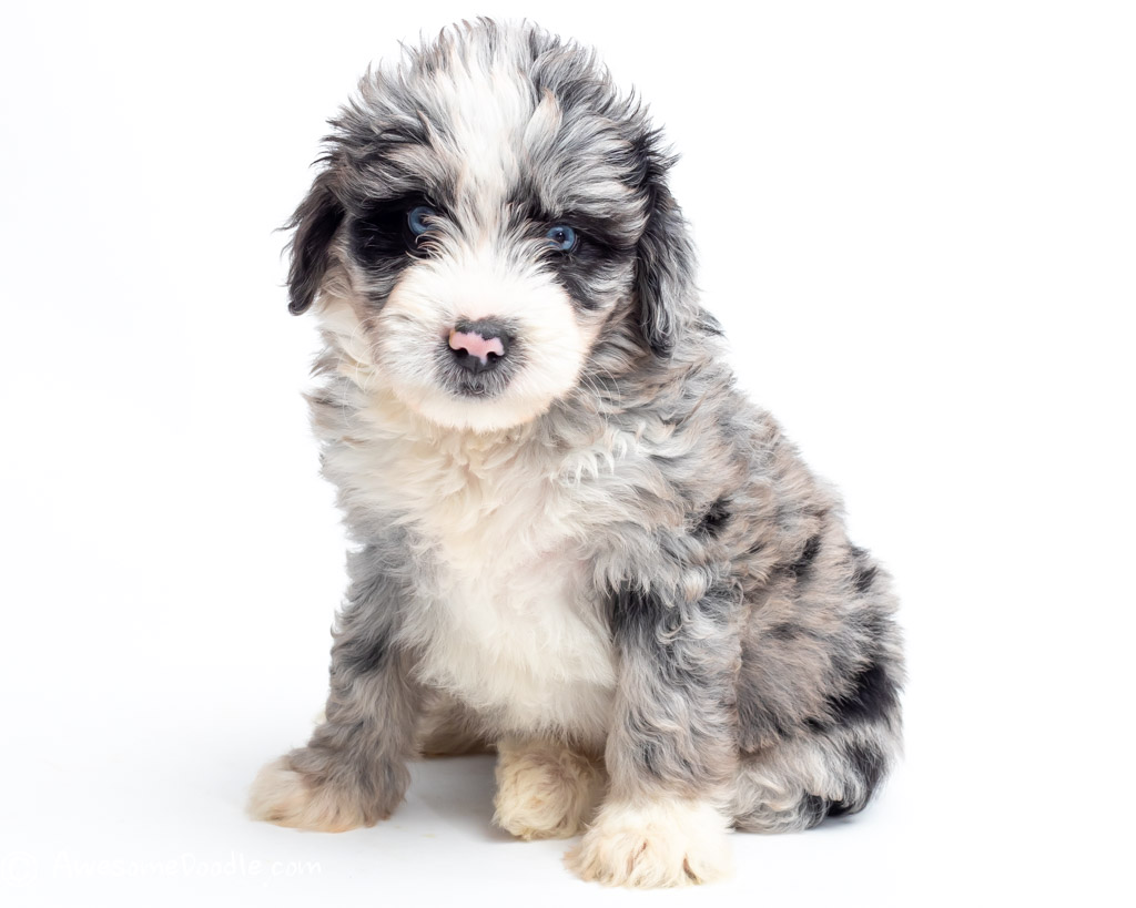 mini blue merle aussie doodle with blue eyes