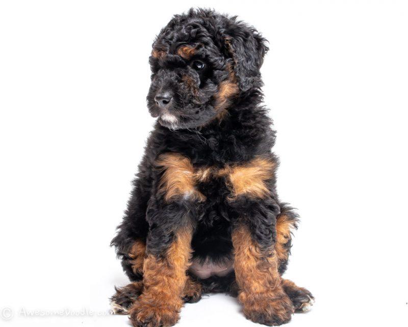 hypoallergenic dog