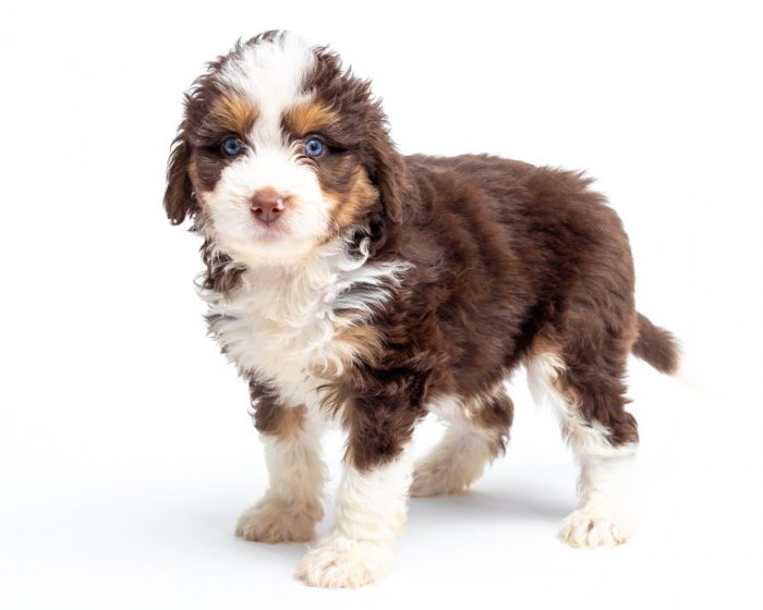 red tri colored aussie doodle with blue eyes