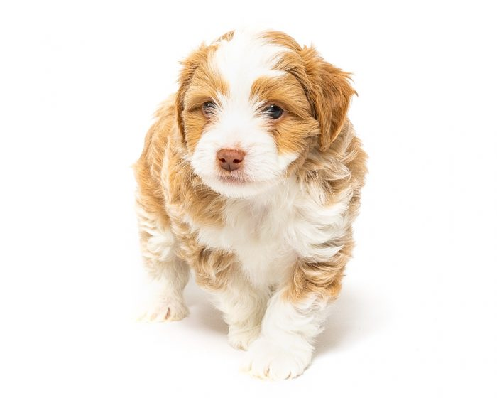 golden and white aussie doodle