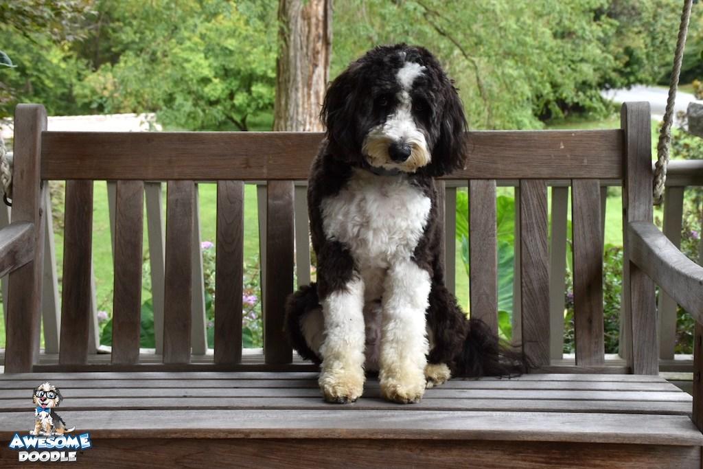 black bi color aussiedoodle adult dog