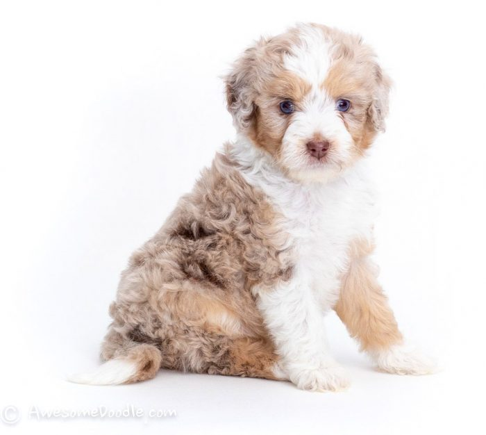 red merle aussiedoodle with white collar