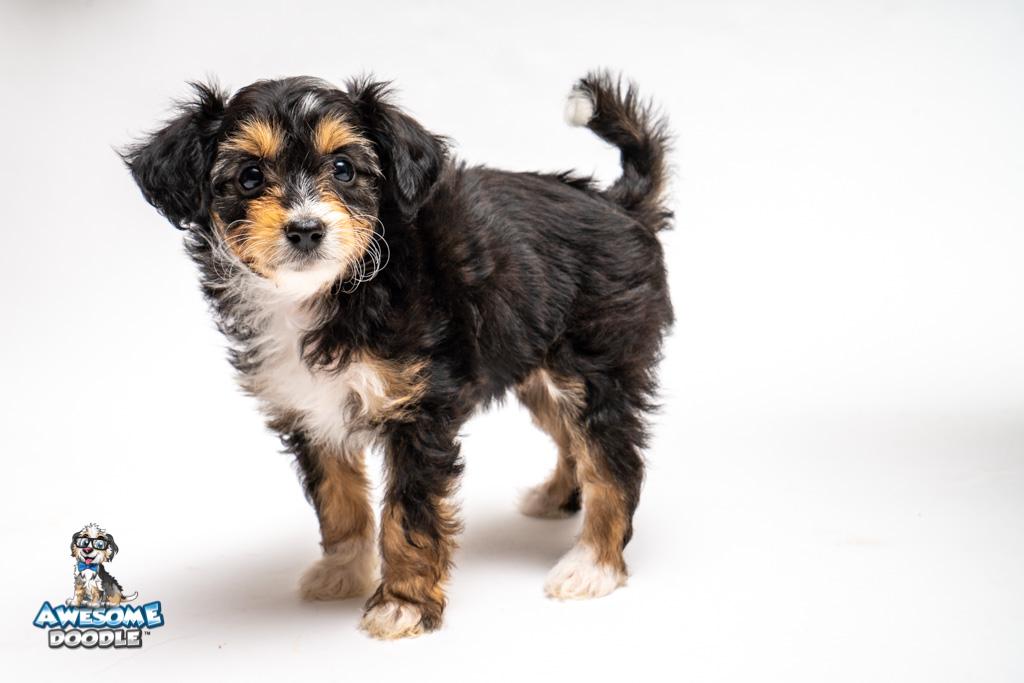 Black Tri colored Aussie Doodle Puppy