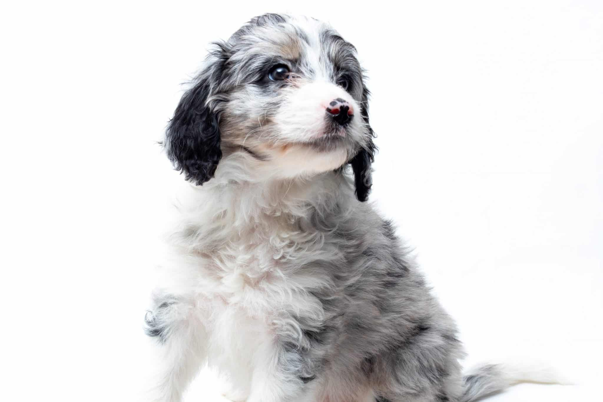 sweet aussiedoodle puppy