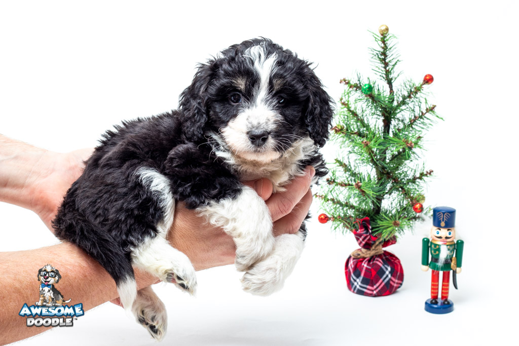 christmas aussiedoodle puppy