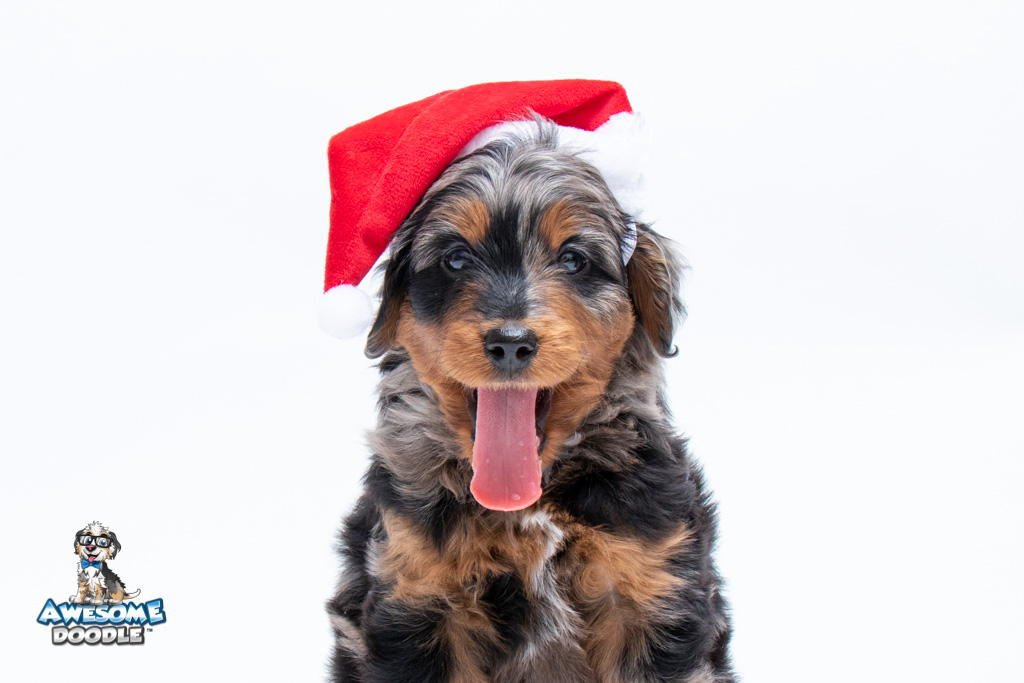 aussiedoodle for christmas