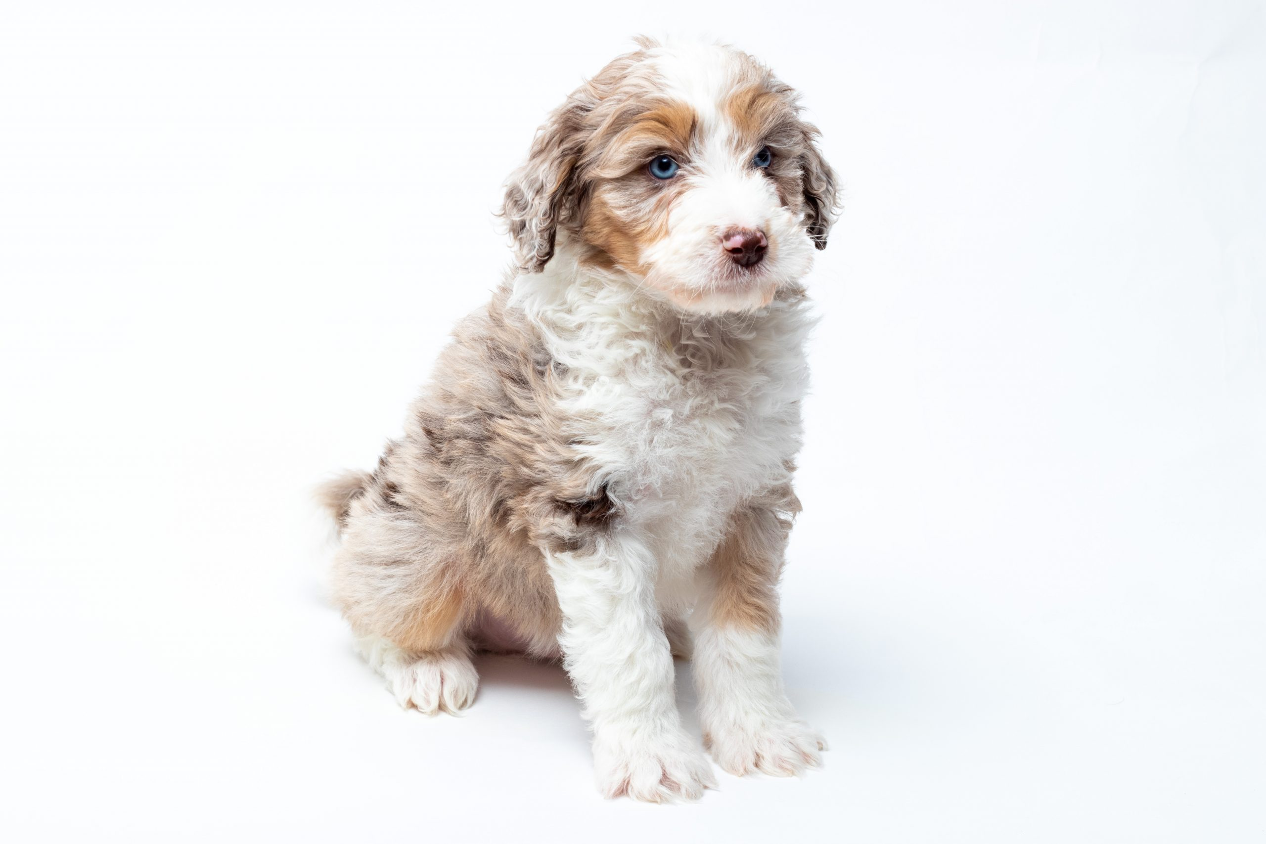 red merle aussiedoodle
