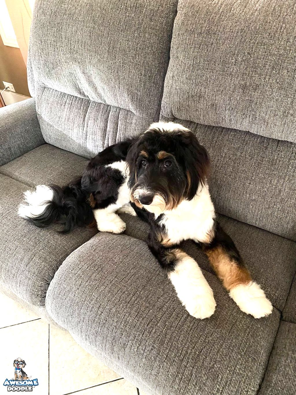 black tri aussiedoodle adult dog with copper