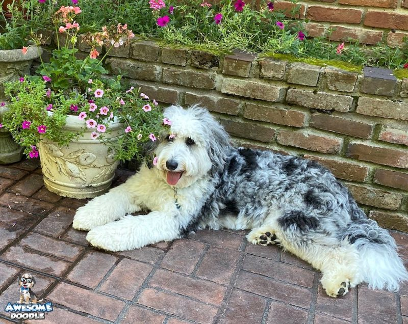 adult aussiedoodle blue merle with blue eyes