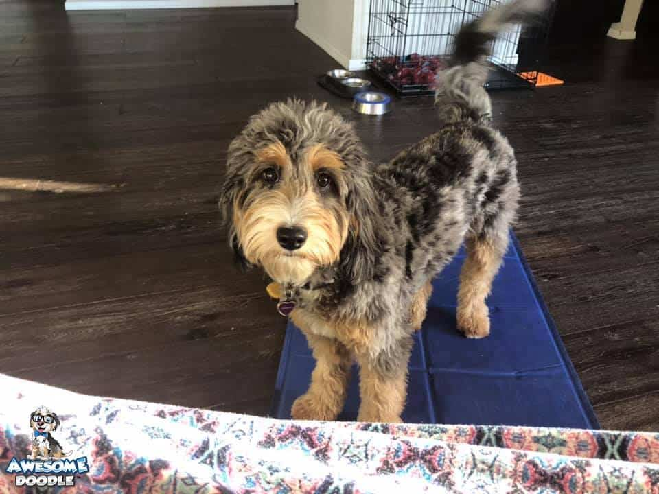 adult blue merle phantom aussiedoodle with white belly