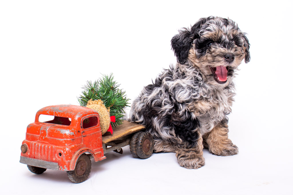 f1b aussiedoodle puppy