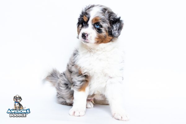 White Blue Merle with Copper AussieDoodle