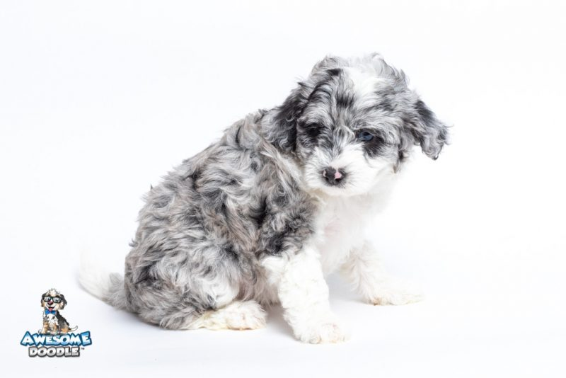toy merle aussiedoodle