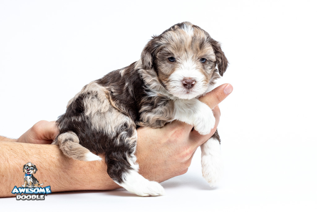 red merle aussiedoodle puppy