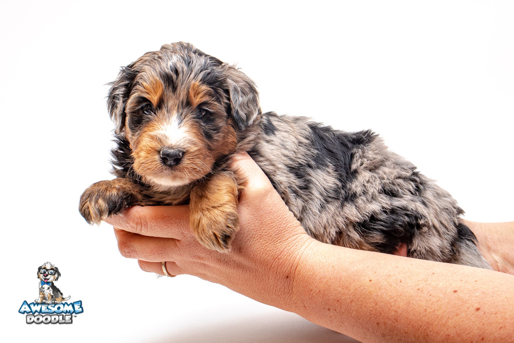 phantom blue merle aussiedoodle puppy