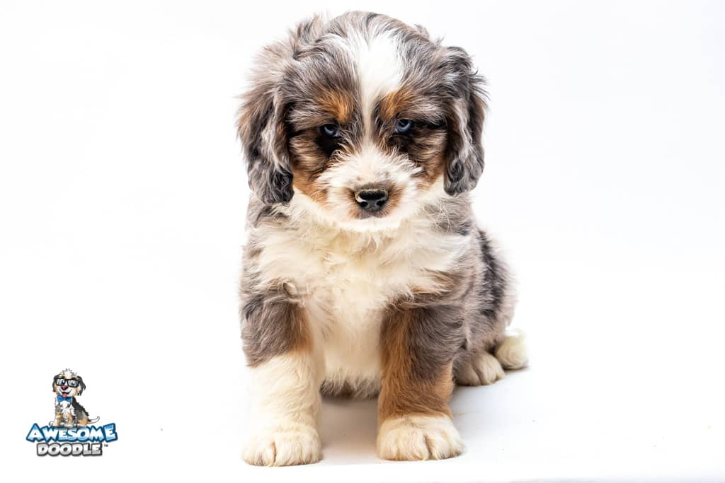 white collar aussiedoodle